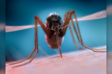 为什么蚊子总是在我们耳边嗡嗡叫